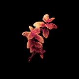 Combustum-Petal.png